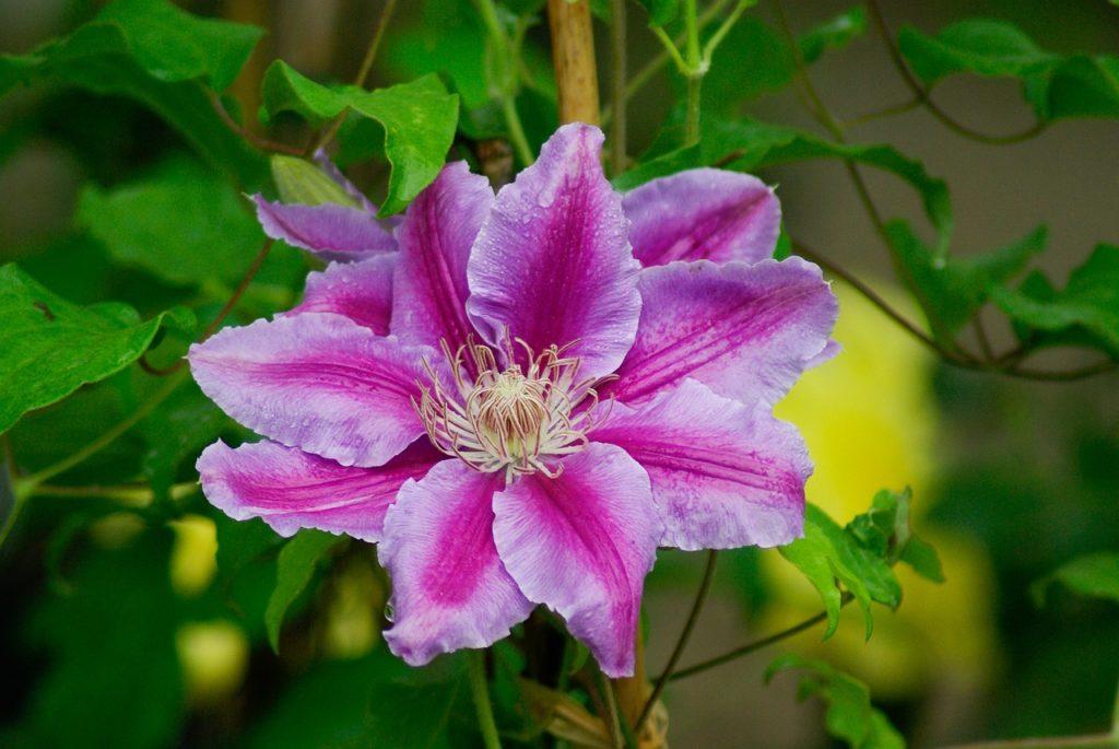fleur de bach_blog_betilami