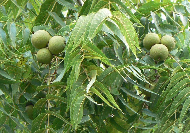 Walnut l'une des 38 fleurs de Bach_blog_betilami