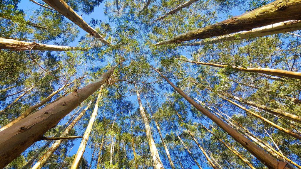 eucalyptus radie_blog_betilami