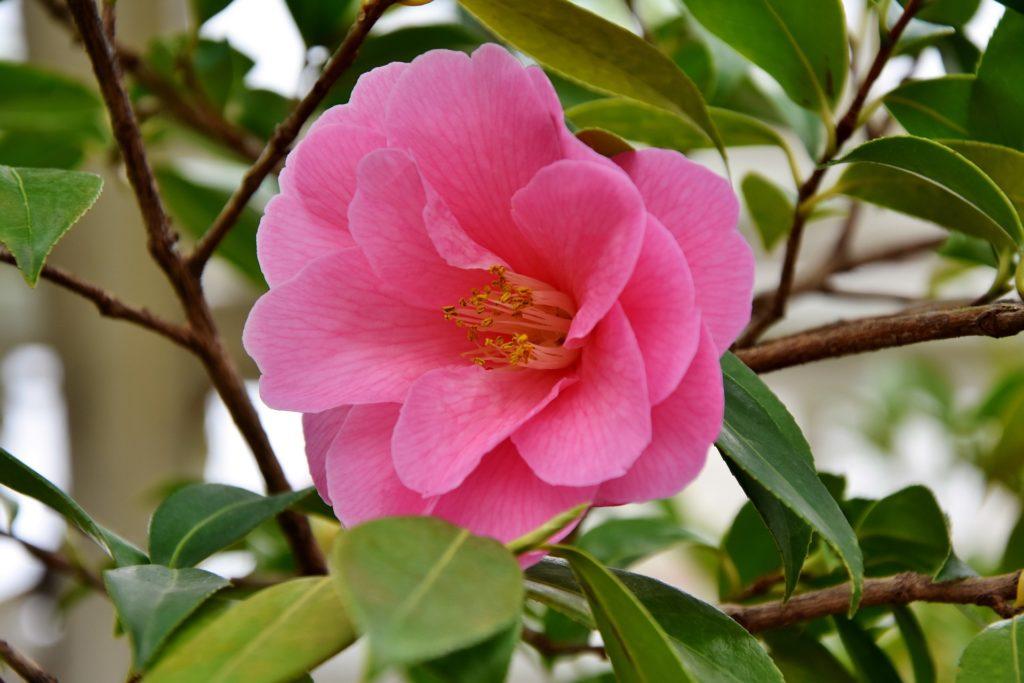 La rose en aromathérapie-blog_betilami
