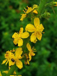 fleur de bach agrimony blog betilami