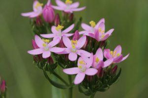 fleur de Bach centaury blog betilami